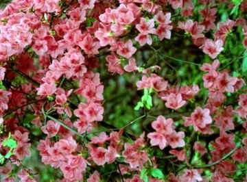 Azaleas, which have a pH number lower than 7, do better in acidic soils.