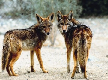 Coyotes are common desert animals that can adapt to nearly any environment.
