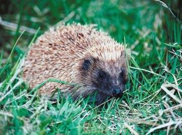 Ancestors of the Hedgehog
