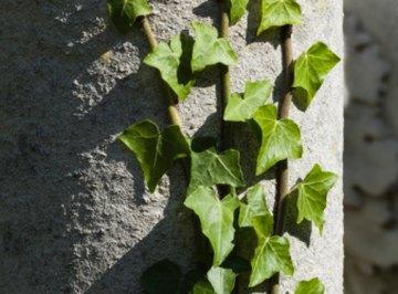 Ivy has an alternate (spiral) leaf arrangement.
