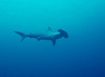 Sharks on the Endangered Species List