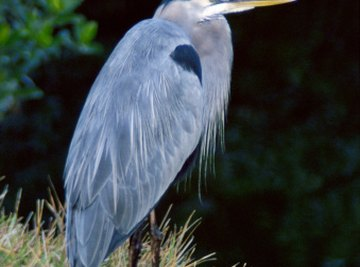 The Differences Between Male & Female Blue Herons