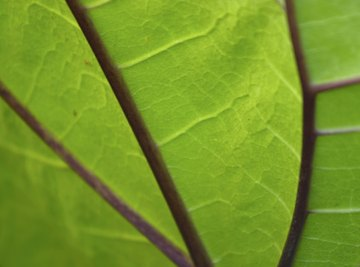 The majority of chloroplasts are in the leaves.