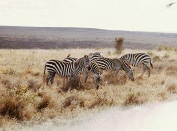 Zebras are found in African savannas.