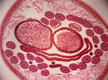 Nematodes, shown here in cross-section, have a simple body form, often referred to as a