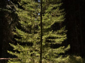 The diameter of a pine tree gives an estimate of the tree's age.