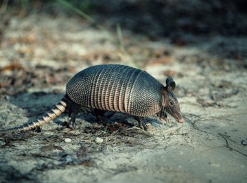 Armadillos spend up to 15 years in the same burrow.