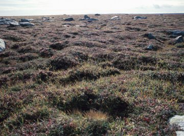Although barren in appearance, the tundra is home to a wide variety of shrubs.