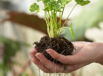 Plants' roots are made up of cells arranged in layers or regions.