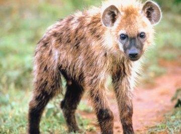 What Animals Eat Antelopes?