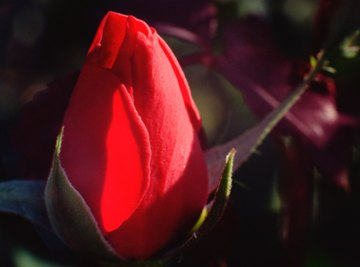 Sepals protect the rose bud during development.