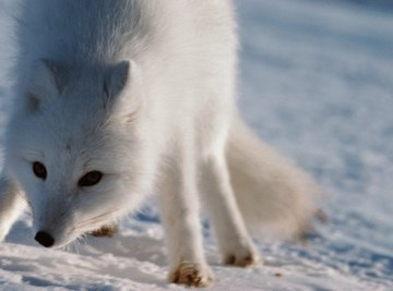 Omnivores of the Tundra