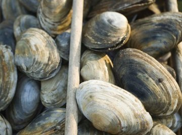 A clam's gender can't be determined by casual inspection.