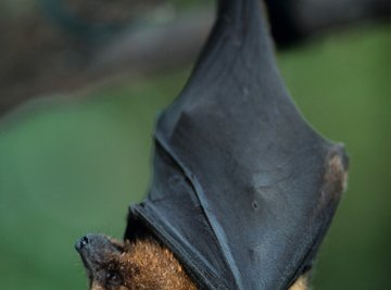 Bats are susceptible to attack from other animals, including other bats.