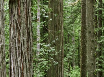 Redwood trees in the Redwood Forest