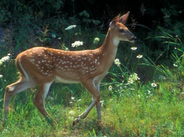 Buck fawns get their first set of antlers around 10 months of age.