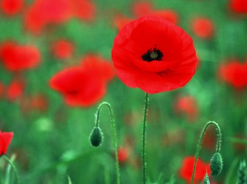 Birds feed on poppy seeds which form after the flower has died off.
