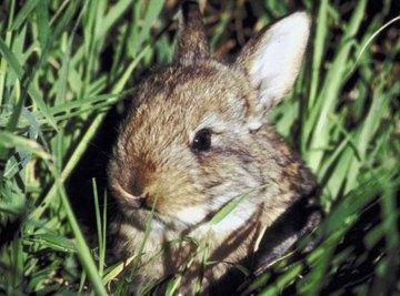 Rabbits are a common garden pest.