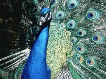Peacock Features