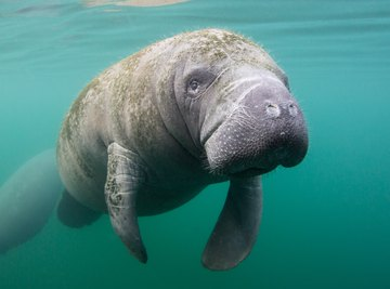 What Are the Manatee's Adaptations for Survival?