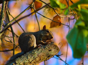 Early Life Stages of Squirrels