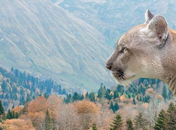 What Are Cougars' Enemies?