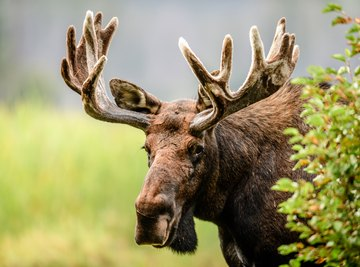 What Are Moose Adaptations?