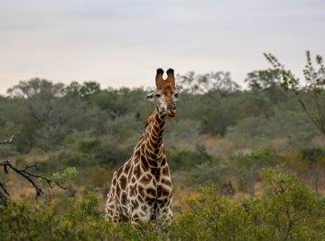Information on Giraffe Eyes