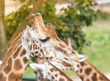 The Characteristics of a Giraffe & How it Helps it Survive