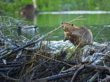Sleeping Habits of Beavers