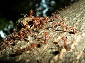 What Causes Swarming Ants?