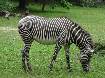 Relatives of the Zebra