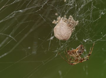 How Many Eggs Can a House Spider Lay