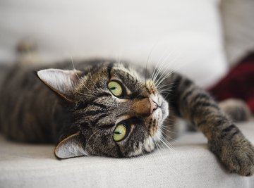 Cat Chromosome Information
