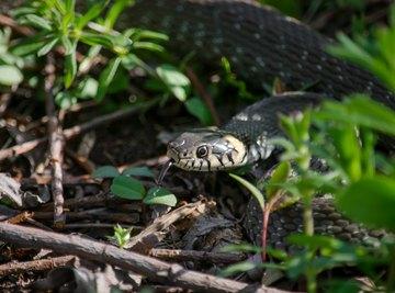 Snakes in Nevada