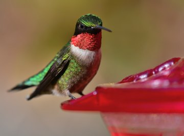 Hummingbirds That Are Common in the State of Ohio