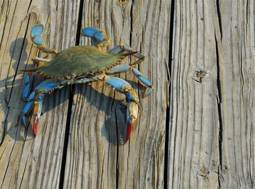 How to Catch a Blue Crab in Florida