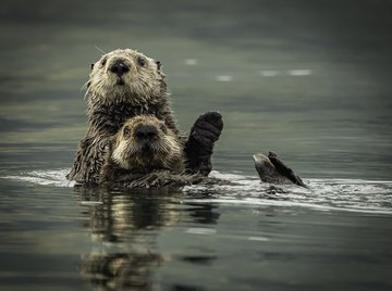 How Do Sea Otters Protect Themselves?