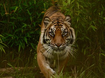 How Fast Does a Tiger Run