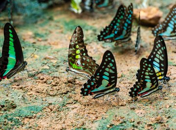 What Are the Structural Adaptations of a Butterfly?