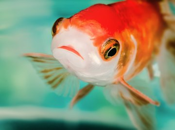 All those flushed goldfish are having a surprising impact on the environment.