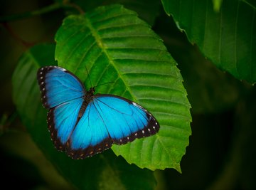 What Are the Adaptations for Survival of the Blue Morpho Butterfly?