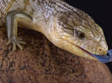 Lizards That Live in Tennessee