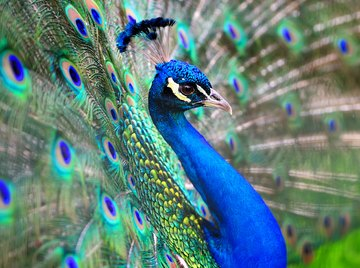 What Are the Colors in a Peacock's Feathers