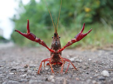 How to Tell a Male Crawfish From a Female