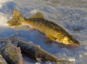How to Tell the Difference between Male & Female Walleyes