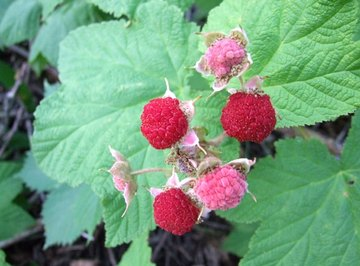 Ripe Thimbleberries