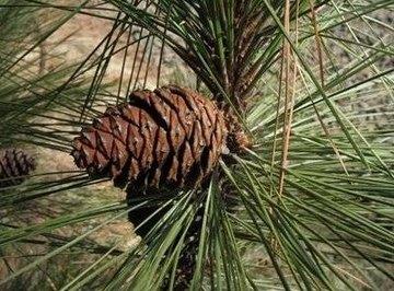 How Do Coniferous Plants Reproduce?