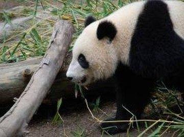 How Do Pandas Mate?