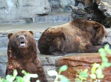 How Do Bears Mate?